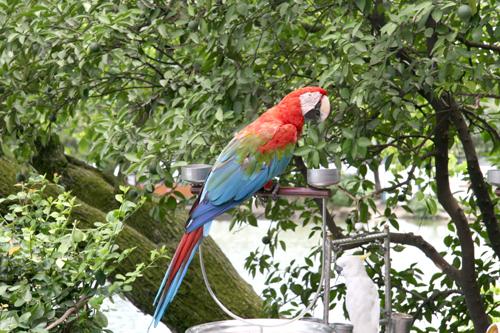 红金刚鹦鹉学名南美洲红金刚