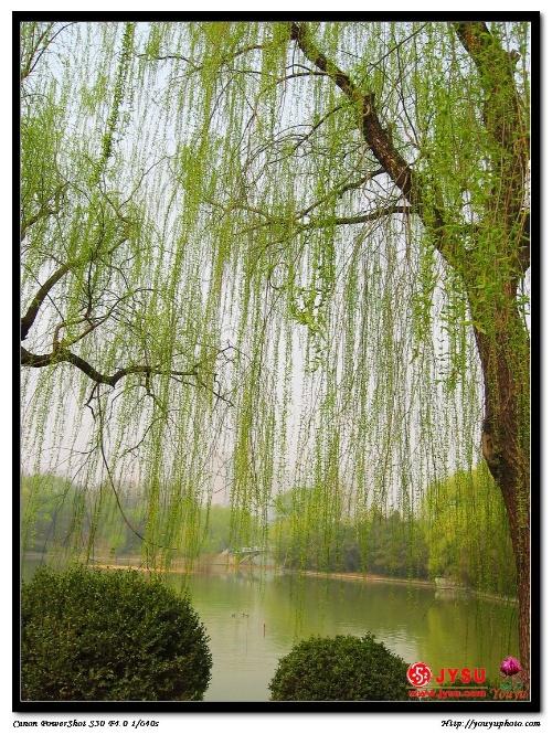 咏     柳 贺知章 碧玉妆成一树高, 万条垂下绿丝绦, 二月春风似剪刀