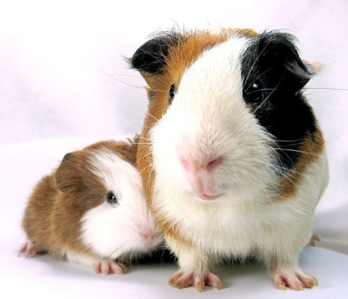 标签:  怎么能有这么可爱的动物! 荷兰猪,即天竺鼠.