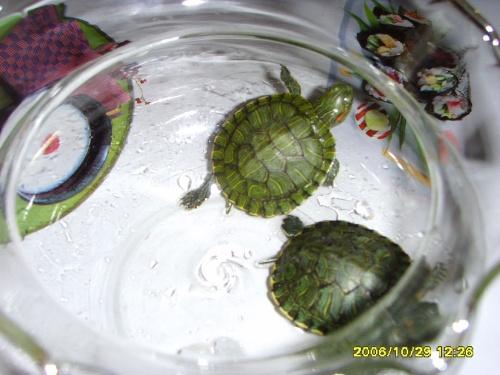 我家养了一只小乌龟,它长的很可爱.