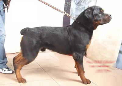 世界上最凶猛的犬