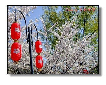 樱花日本民歌谱子